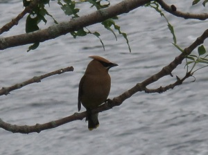 Cedar waxwing perched above the river, near Pratt Dam in Cumberland, RI