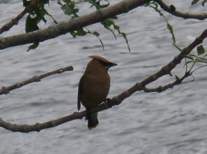 Cedar waxwing perched above the river, near Pratt Dam in Cumberland, RI