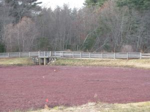 Cranberry bog at Patriot Place, Foxboro, late fall