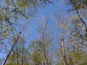 Oaks still recovering from gypsy moth infestation