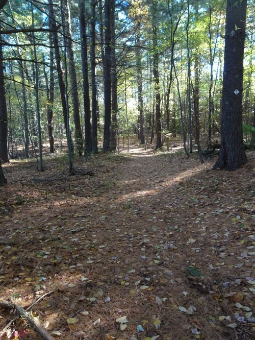 Wide open woodland path covered with pine needles