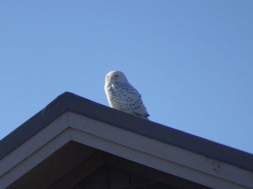 snowy owl 2 DSC08854