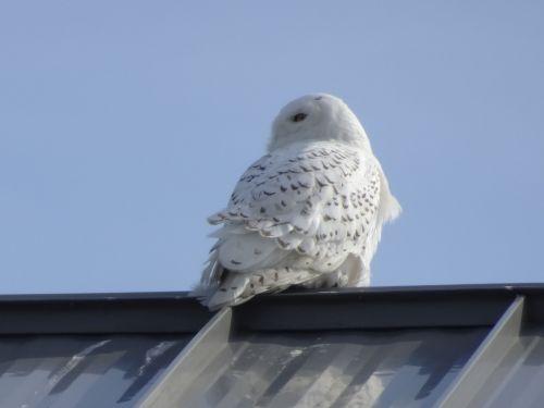snowy owl DSC08881